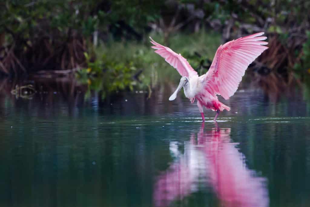 Vögeln in Everglades